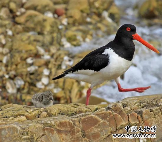野生海豹和珍稀蛎鹬鸟组团到长岛
